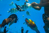 Red Sea underwater scenery with tropical fishes, Egypt - 230702569