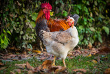 Rooster and hen in the garden on a farm - free breeding.