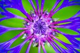 Blue Cornflower, montana bachelor, close up