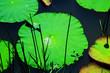 Leinwandbild Motiv Lotus leaf