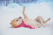 Leinwanddruck Bild - Labrador retriever dog dressed in a red scarf lying on its back in the snow