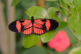 Butterfly Heliconius genus on leaf and seen from above