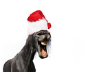 funny portrait of horse wearing a santa claus hat isolated on white blackground