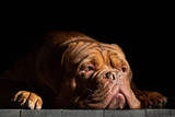Dogue de Bordeaux head lying on wood floor
