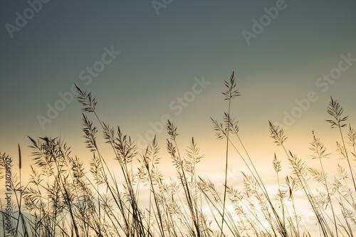 Grasses Sunset - 230799912