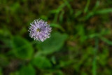 Violet flower in green grass - 230803393