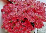 Très grosse azalée très fleurie