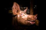 Schwein im Portrait - 230809553