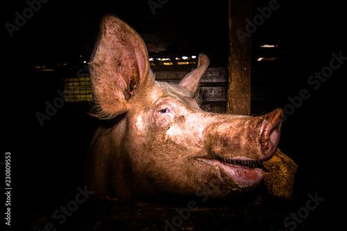 Schwein im Portrait