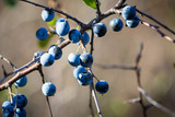 thorn bush branch with berries - 230831167