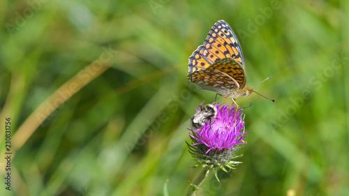 Farfalla sul fiore di cardo viola in estate sul prato - 230831756