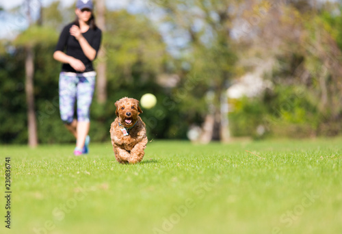 Miniature Golden doodle playing fetch