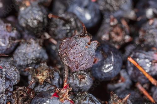 Amelancher dojrzałe jagody jako tło