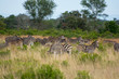 Family group of plains zebra (Equus quagga) grazing in the Timbavati, Greater Kruger, South Africa