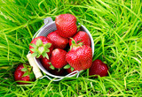 ripe sweet red strawberry berries in a bucket in the summer garden among green grass