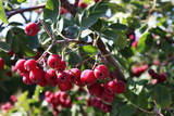 Hybrid Grataegosorbus x miczurinii 'Granatnaya' ripe pomes in the autumn garden - 230846378