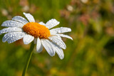 Daisy flower on green background. Dew drops on a flower. Summer background with chamomile and grass