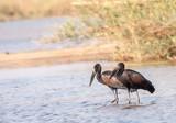 Pair of African openbills