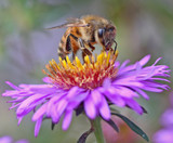 Bee on Purple and Yellow Flower
