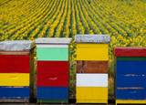 Beehives in sunflower field