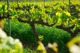 Wide grape fields in spring attractive place