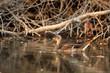 Male wild duck or Anas platyrhynchos floats in water
