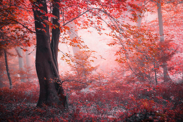 Fantasy fairytale autumn season foggy red colored forest. © robsonphoto