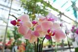 Phalaenopsis pink. Delicate orchid flower - 230866177