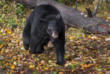 Black Bear (Ursus americanus) Trots Forward From Log - 230866587