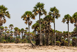 Green palm trees grow out of the red sand on the background of the blue sky with small village beach. - 230874787