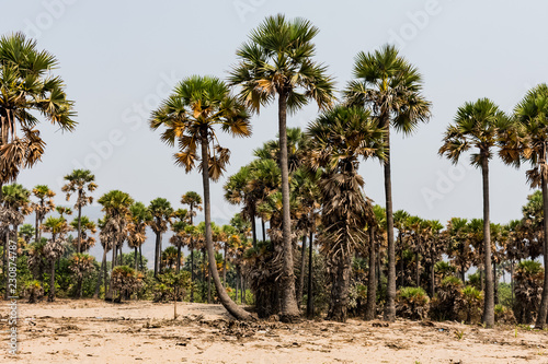Green palm trees grow out of the red sand on the background of the blue sky with small village beach.