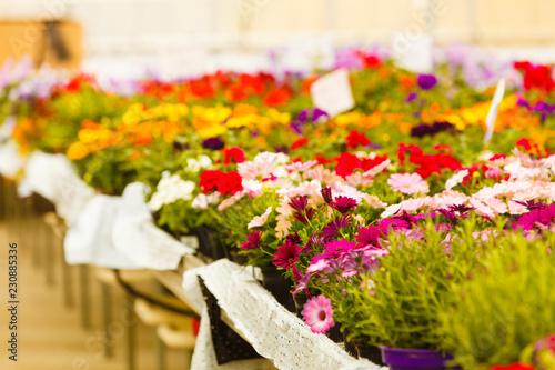 Closeup of beautiful colorful roses in pots - 230885336