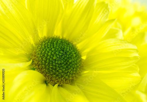 Yellow chrysanthemum flower in macro view - 230890120