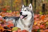 Alaskan malamute dog outdoors - 230894748