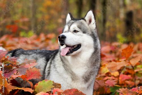 Leinwandbild Motiv Alaskan malamute dog outdoors