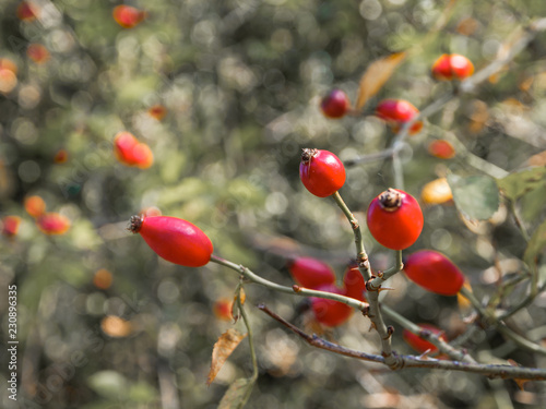 Foto Murales Red mouths, the autumn fruit of the dog rose