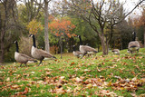 canadian geese on the grass with autumn leaves - 230903573