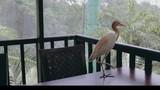 Heron walking on table and balcony - 230922373