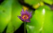 Leinwandbild Motiv lotus in the pond