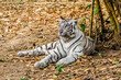 White tiger on yellow ground