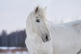 White horse in winter - 230941922