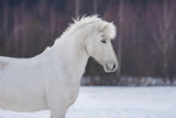 Beautiful white horse in winter - 230941927