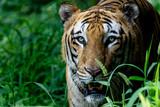 Indian Bangol Tiger