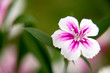 gilliflower