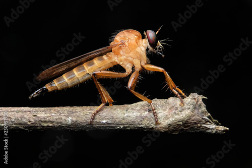 Foto Murales Robber fly gold