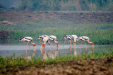 Painted Stork Searching for food in water body