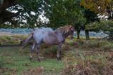 New Forest Pony - 230957592