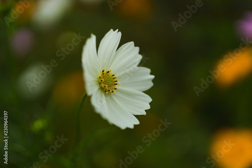 Cosmos blossom in The backyard  - 230964397