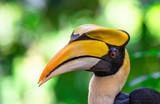 Great Hornbill Buceros bicornis - 230969953