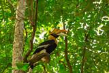Great Hornbill Buceros bicornis - 230970150
